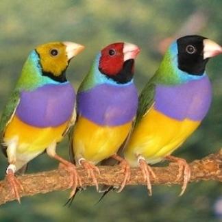 Allevamento fringillidi e pappagallini allevare e ama for Mangiano il pastone